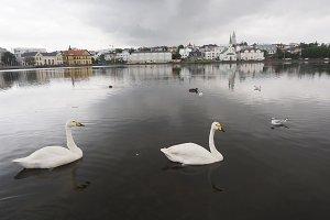 Swan swimming at Reykjavik pond in Iceland