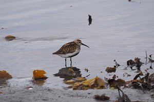 Common Snipe walks on the water in Iceland, Hrossagaukur