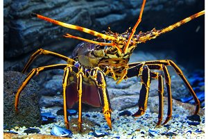 Close up colourful Tropical Rock lobster under water on background of beautiful underwater stones.