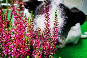 Smelling Heather