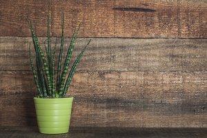 Sansevieria cylindrica green plant