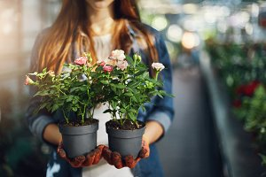 Female gardener holding small roses in pots. Close-up.