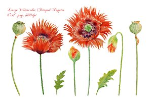 Watercolor Fringed Red Poppies