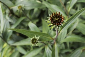 Young Coneflower Heads in Bloom
