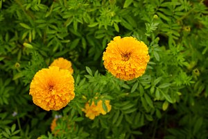 High Angle View Of Yellow Marigolds Blooming In Park