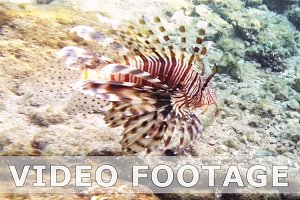 Tropical fish red lionfish coral reef underwater