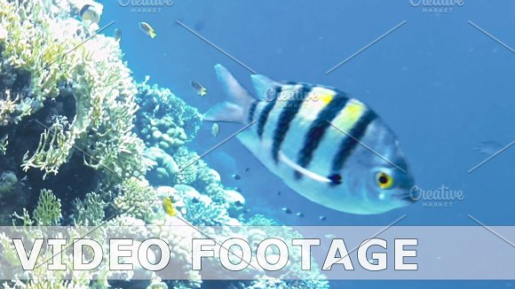 Tropical Fish And Colorful Coral Reef Underwater