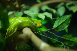 Green pit viper.
