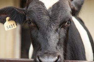 Cow farm.