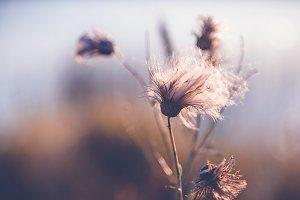 Wild dry flower