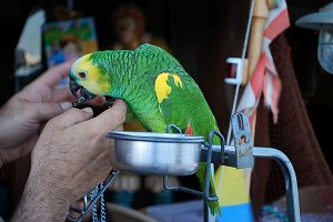 parrot eating