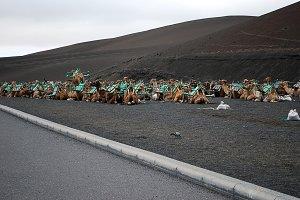 camels sitting