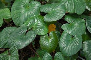 Large leaves.