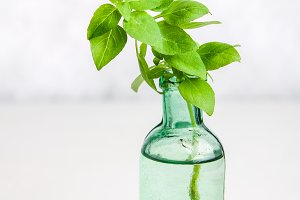 A sprig of lemon basil in an old bottle on a light background.