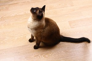 A Siamese or Thai cat sits on the floor. The cat is disabled. Three paws, no limb.