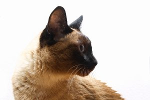 Siamese or Thai cat against a white wall.
