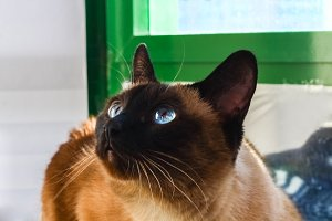 A Siamese or Thai cat looks out the window out of the house.