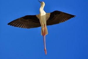 stilt in flight