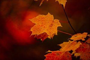 Fall Leaf in Scarlet