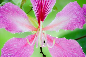 water drops on pink flower