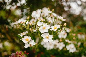 White flowers grow in the grass