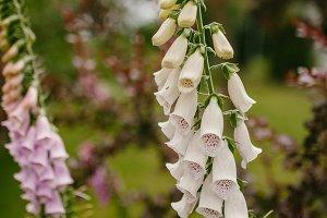 Flowers of Digitalis
