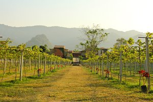 vineyards with house in country