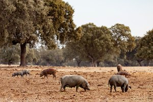 Pigs grazing in the field