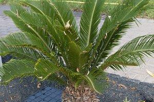 small palm