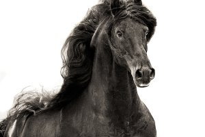 Friesian horse in sepia