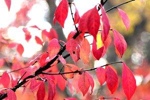Burning Bush Red Fall Leaves