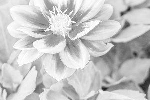 Chinese Carnation