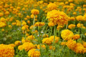 Many fresh marigold flowers (Tagetes) in the garden