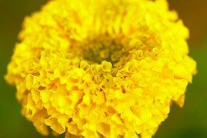 Macro image of marigold