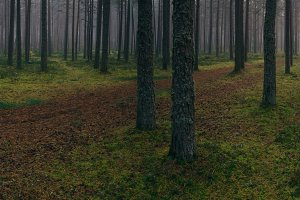 Pines & fog