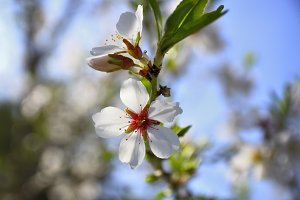 Almonds flower