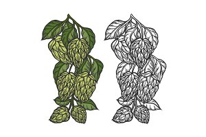 Beer hop illustration
