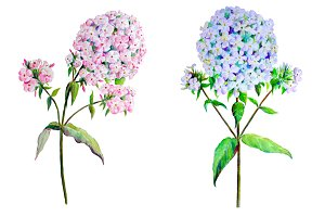 Watercolor Phlox Pink & Blue Clipart