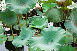 The lotus leaf lotus.
