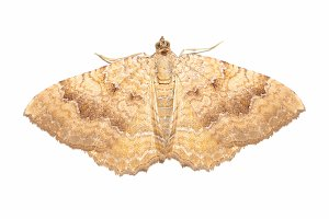 yellow shell moth insect animal isolated over white