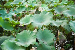 The lotus leaf lotus.
