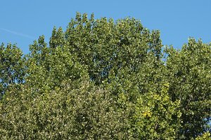 poplar (Populus) tree over blue sky