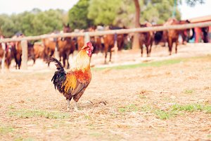 Rooster On Ranch