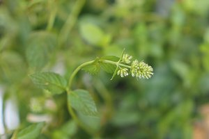 peppermint (Mentha piperita) plant selective focus