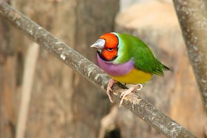 The Gouldian finch or Erythrura gouldiae, male, aka the Lady Gouldian finch, Goulds finch or the rainbow finch