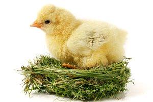 baby chicken in the straw nest on white background