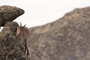 Hide goat