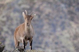 Goat glance