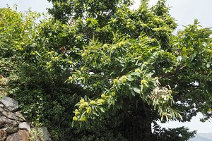 chestnut tree with fruits