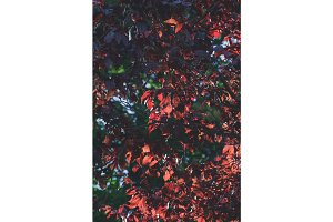 Red foliage of a tree in an autumn garden